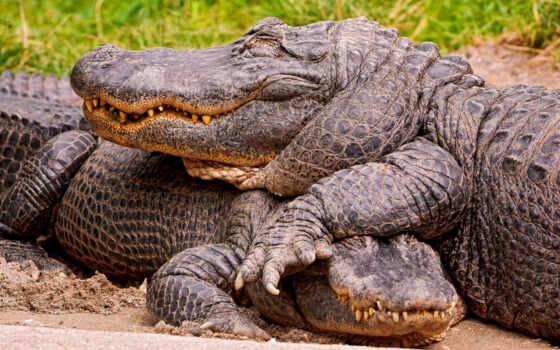 крокодилы, zhivotnye, коллекция