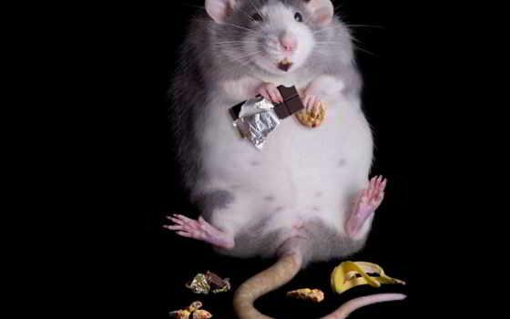 крыса, толстая, еда, tail, банан, black, хлеб, прикольные,