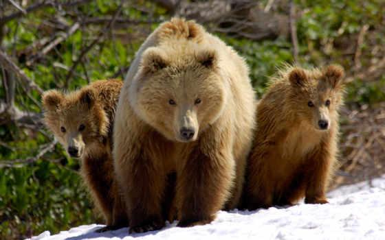 медведь, mama, cubs, bears, her, лес,