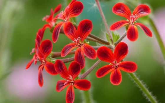cvety, kwiaty, pelargonium, flowers, pinterest, природа, tapety, zdjęcia, plochu,