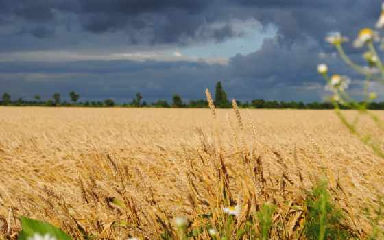 поле, серьги, украинское, пшеница, колоски, природа, небо, company, fone, делал,