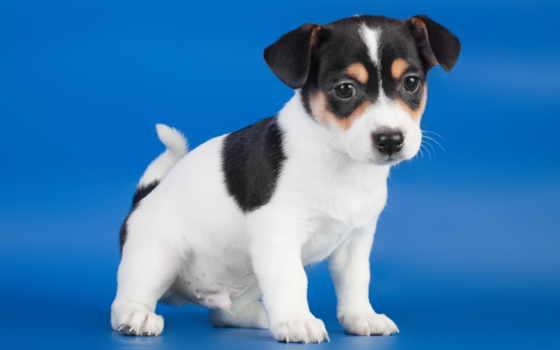 собаки, рассел, джек, бультерьер, собак, породы, разных, зооклубе, пород, собака,