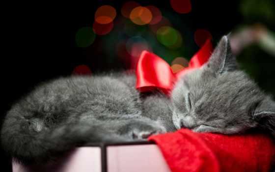 коты, котенок, everything, новогодние, кошки, но, котов, британские, их, красоты, небесной,