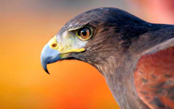 falcon, black, птица, user, samsing, природа, trenner, монитор, купить, другой