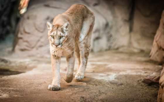 кугуар, puma, кошка, дикая, лев, горный, морда, zhivotnye,