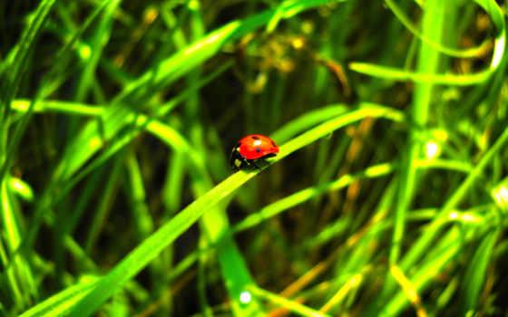 божья, коровка, summer, трава, листья, hdr, зелёный, макро, природа, наекомое,