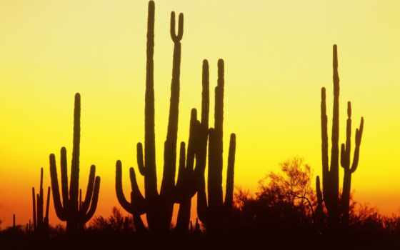 saguaro, кактус, закат