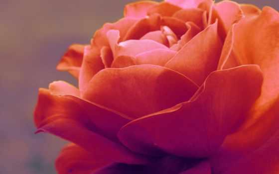 роза, нежность, макро, цветы, flora, cvety,