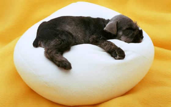 собаки, собак, купить, cheap, лежанка, цвергшнауцер, лежанку, дома, домашняя, собака,