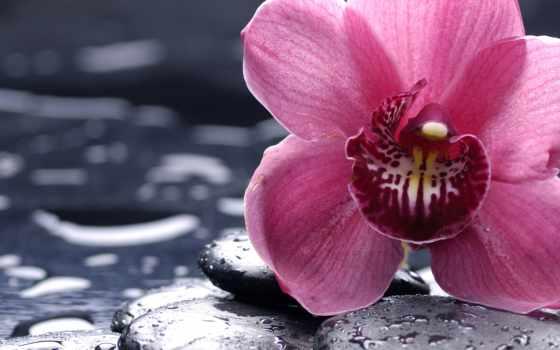 орхидеи, cvety, орхидея, цветы, камни, розовая, красивые,