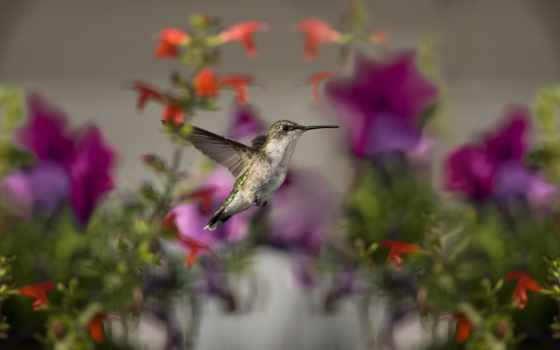 колибри, hummingbirds, flowers