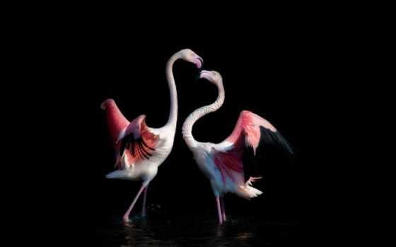 фламинго, рисунки