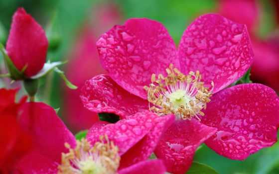 цветы, красивые, розы