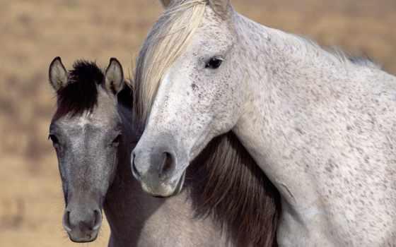 лошадь, серый, белая, кони, взгляд,