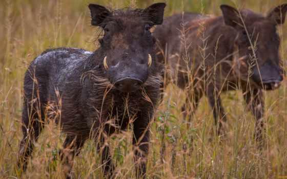 hyena, spotted, hyenas,