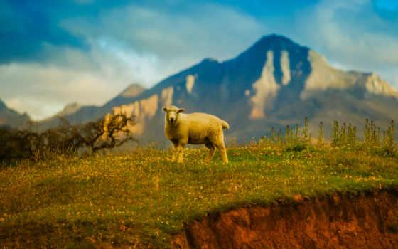 new, zealand, sheep, free, resolutions,