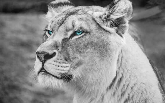 wild, львица, ipad, природа, animal, puma, морда, alex, rus, африка, взгляд