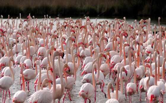 фламинго, птица, animal, качество, розовый, die, phoenicopterus, lat, море, blue
