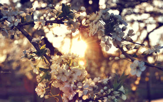 дерево, cherry, ветки