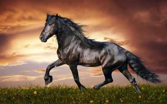 лошадей, красивые, лошади, порода, лошадь, zhivotnye, фриз, фризская,