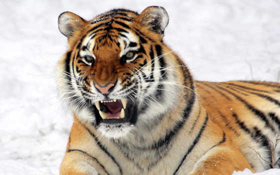ухмылка, тигр, морда