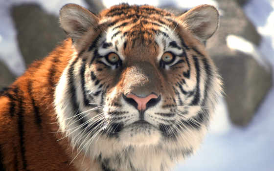тигры, тигра, год, красивые, тигр, kak, ťяằţξłł, смешные, keywords, slova, everything,