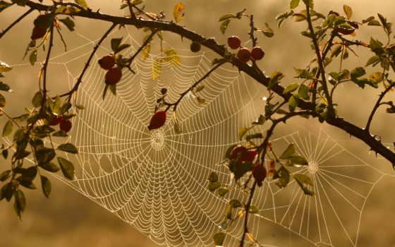 шиповник, web, природа, картинка,