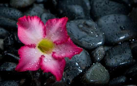 cvety, камень, drop, цветы, природа, black, llover, ver, gusta