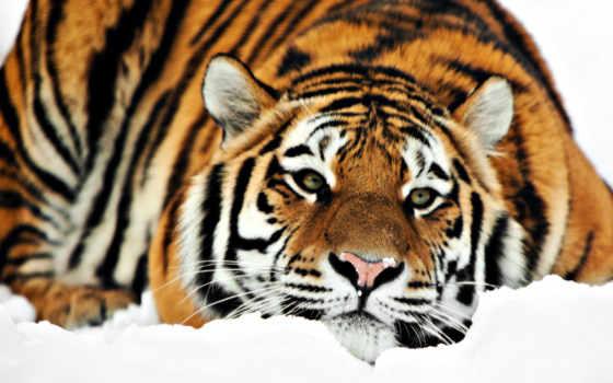 тигр, снег, winter