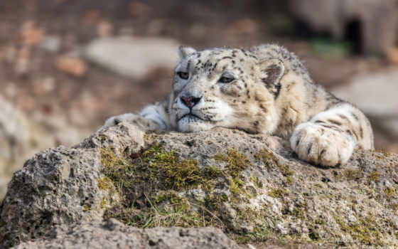 леопард, ирбис, снег, кот, хищник, камень, udonnodu, trees, цветы,