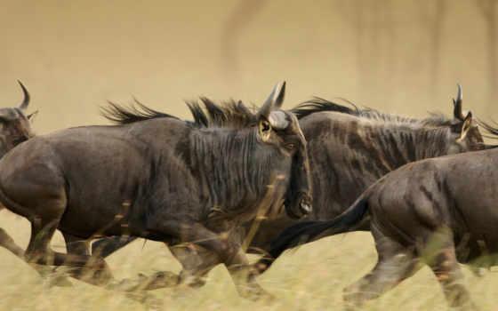 serengeti, national, park, wildebeests, musabi, blue, plains, танзания, adrian, февр, aurora,