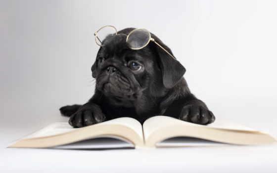 собаки, мопс, zhivotnye, щенок, очки, книга, компьютер, картинку, собака, смотрит, заставки,