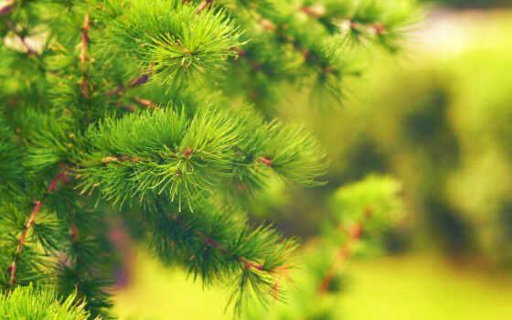 pine, дерево, permission, зелёный, leaf, природа