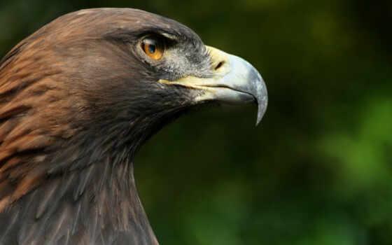 перепелятник, птица, hawk, голова, makryi, golov, орлан, клюв, они, ответить
