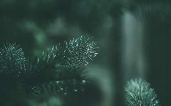 ipad, fir, дерево, растение, christian, branch, fellowship, chisinau, молдова, мини, pine