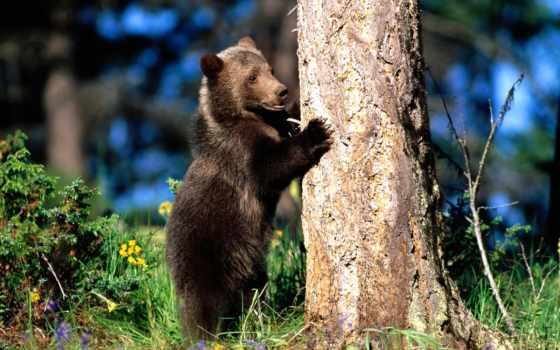 медведь, zhivotnye, медведи