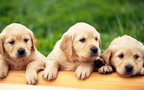 labrador, retriever, caini, pisici, olx, bucuresti, ро, об,