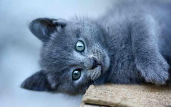 кот, fonds, ecran, взгляд, blue, black, animal, chats, chat, oriental,