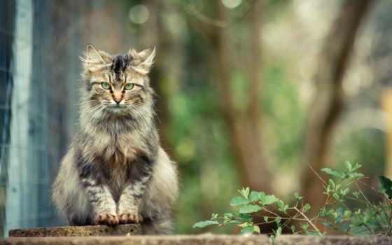 кот, сидит, красивый, серый, красивые, взгляд, страница, zhivotnye,