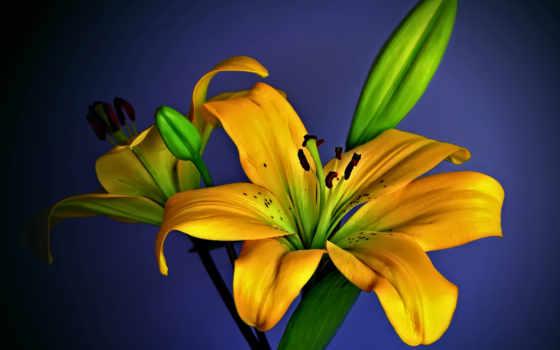 cvety, открытки, лилиями, жёлтыми, анимации, www, gdefon, lily, лилии, весна, анимация,