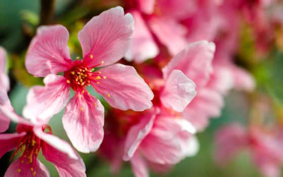 макро, cvety, розовые, картинка, весна, cherry, лепестки, цветение, branch,