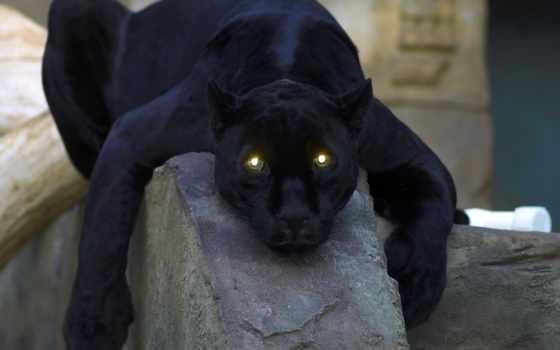 пантера, черная, кошка