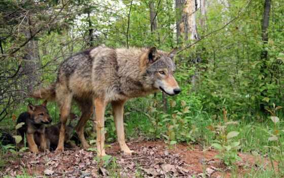 волчица, своих, волки, волк, картинка, волчат, волчатами,