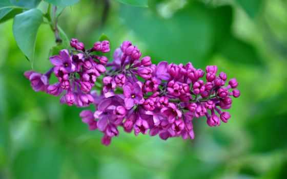 сиреневый, цветы, макро