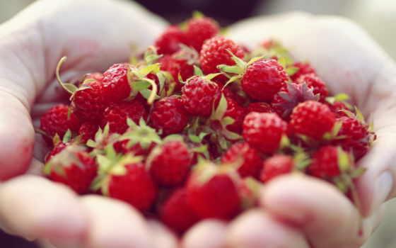 макро, высоком, лесная, клубника, отлично, руки, ягоды, ладонях, приамурье,