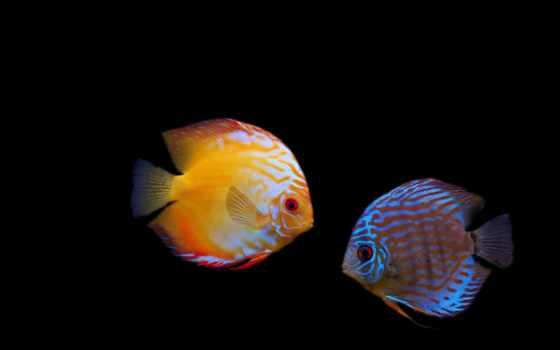 fone, красивые, золотые, аквариум, pisces, аквариумные,