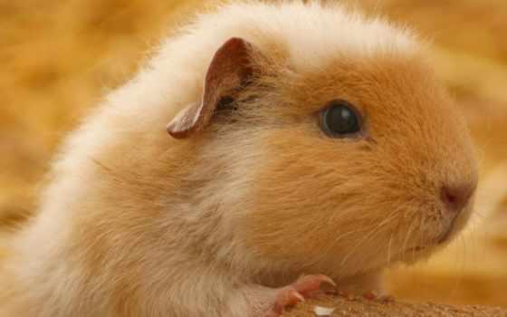 guinea, fat, свинья,