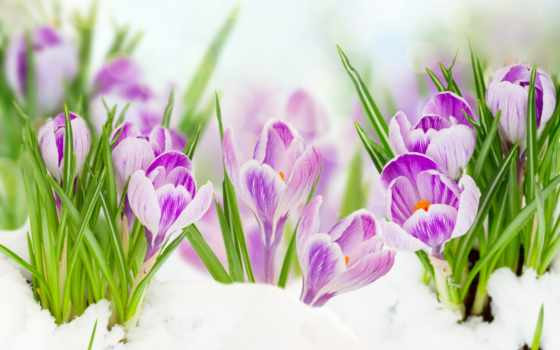 февр, крокусы, цветы