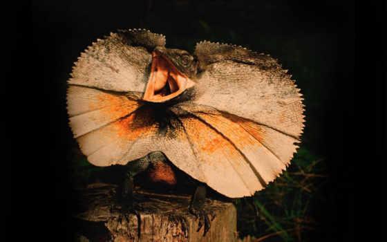 ящер, плащеносная, chlamydosaurus