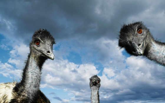 ostrich, страусов, дек